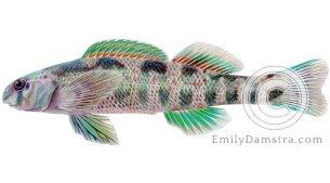 Greenside darter – Emily S. Damstra