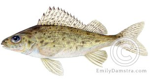 Ruffe Gymnocephalus cernuus illustration