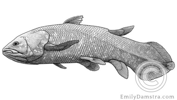 Illustration of West Indian Ocean coelacanth Latimeria chalumnae