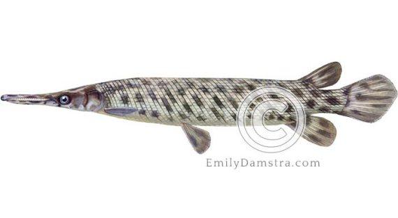 Florida gar illustration Lepisosteus platyrhincus