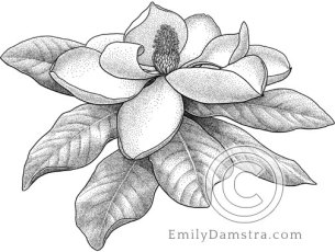 Southern Magnolia flower – Emily S. Damstra