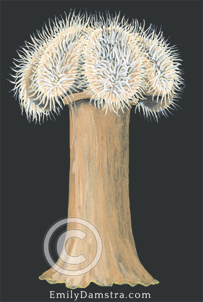 Plumose anemone illustration metridium senile