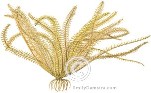 Orange sea lily illustration Davidaster rubiginosus nemaster