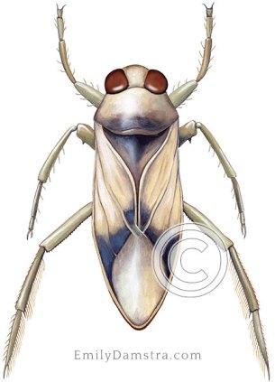 Notonecta sellata illustration