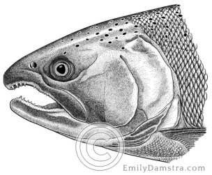 Illustration of a Coho salmon Oncorhynchus kisutch