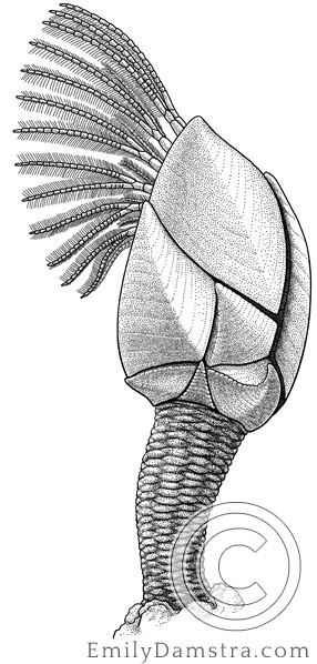 Illustration of Darwin's gooseneck barnacle Regioscalpellum darwini