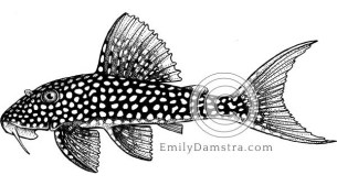Sunshine pleco illustration Scobinancistrus aureatus