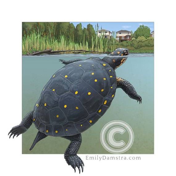 Spotted turtle illustration clemys guttata