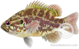 Warmouth sunfish – Emily S. Damstra