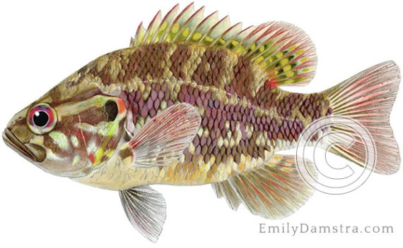 Warmouth sunfish Lepomis gulosus illustration