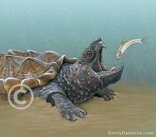 Alligator snapping turtle – Emily S. Damstra