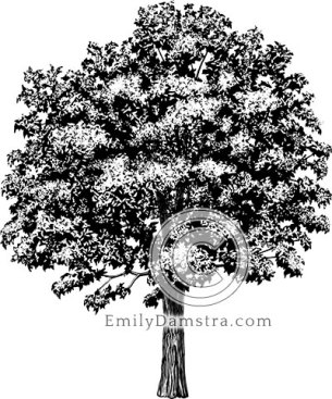 American chestnut tree illustration Castanea dentata