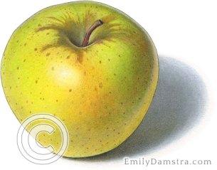 Crispin apple illustration mutsu