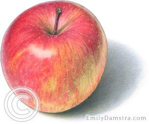 Fuji apple illustration