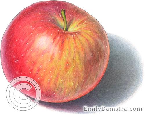 Ida red apple illustration