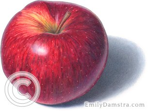 Red Prince apple illustration