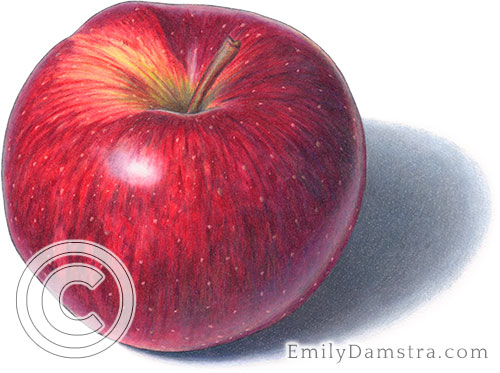 Red Prince apple illustration