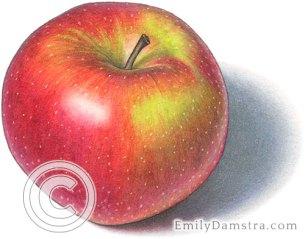 Spartan apple illustration