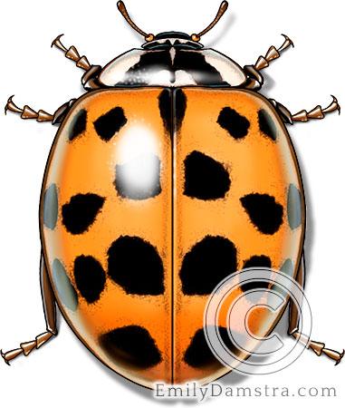 Asian lady beetle illustration Harmonia axyridis