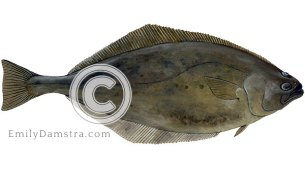 Atlantic halibut illustration Hippoglossus