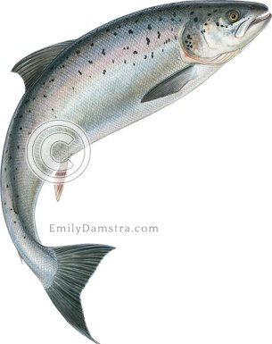 Atlantic salmon leaping – Emily S. Damstra