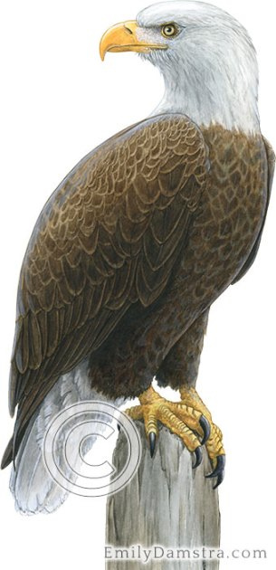 Bald eagle illustration Haliaeetus leucocephalus