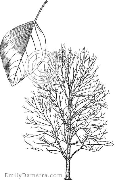 Balsam poplar illustration Populus balsamifera