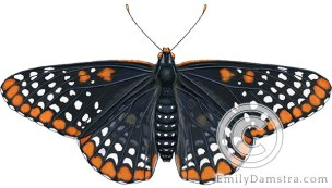 Baltimore checkerspot illustration Euphydras phaeton
