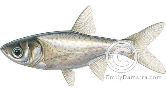 Bighead carp juvenile illustration Hypophthalmichthys nobilis