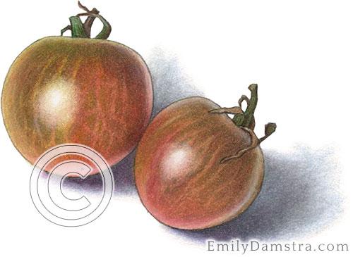 Black cherry heirloom tomatoes illustration
