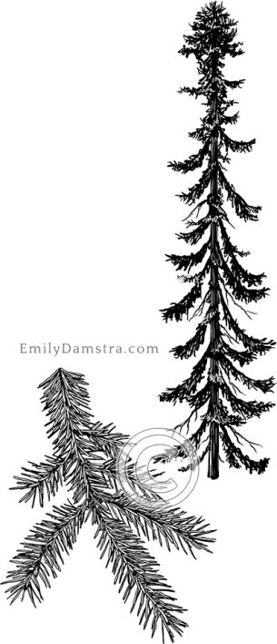 Black spruce illustration Picea mariana