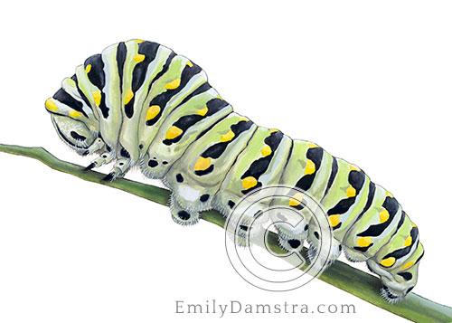 Black Swallowtail caterpillar Papilio polyxenes