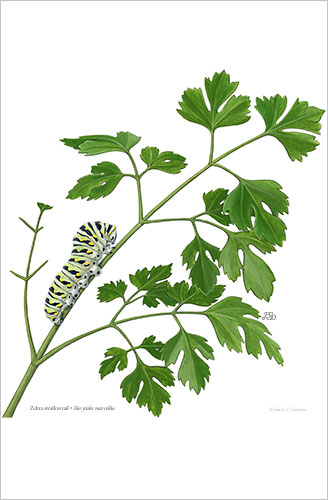 black_swallowtail_parsley_print