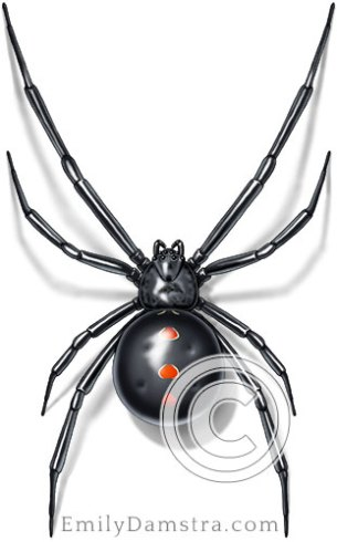 black widow spider illustration Latrodectus variolus