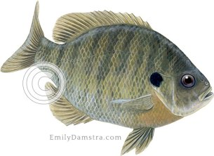 Bluegill sunfish Lepomis macrochirus illustration