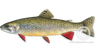 brook trout Salvelinus fontinalis illustration