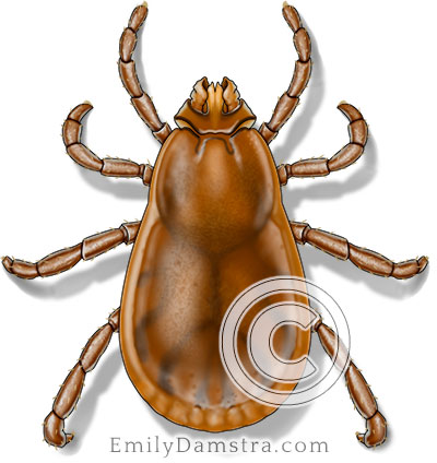Brown dog tick illustration Rhipicephalus sanguineus