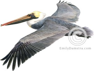 Brown pelican – Emily S. Damstra
