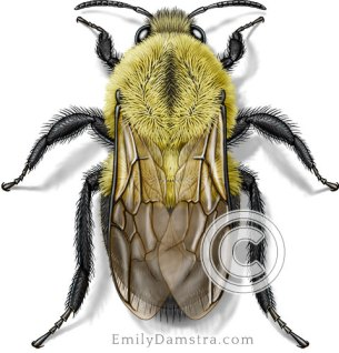 Bumble bee illustration Bombus impatiens
