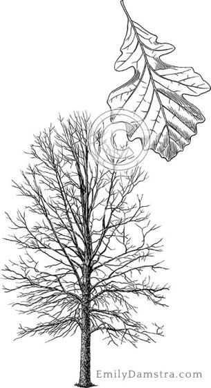 Bur oak illustration Quercus macrocarpa