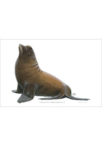california_sea_lion_male-print