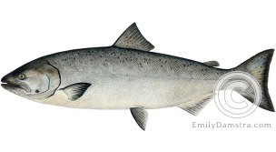 Chinook salmon Oncorhynchus tshawytscha illustration