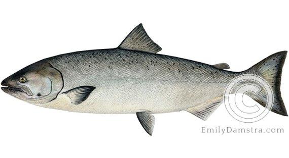 Chinook salmon Oncorhynchus tshawytscha illustration