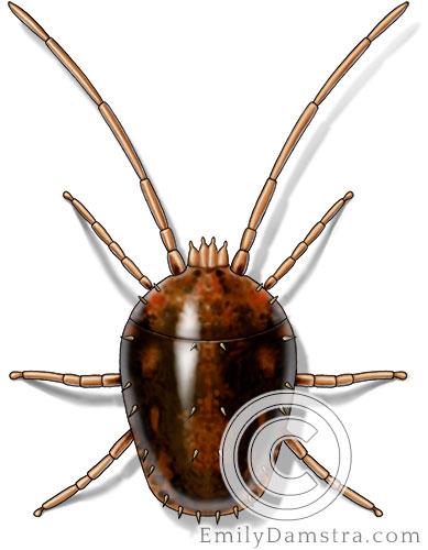 Clover mite illustration Bryobia praetiosa