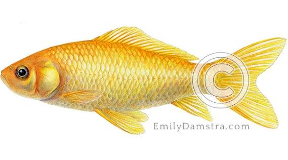 Common goldfish illustration Carassius auratus
