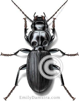 Common black ground beetle illustration Pterostichus sp.