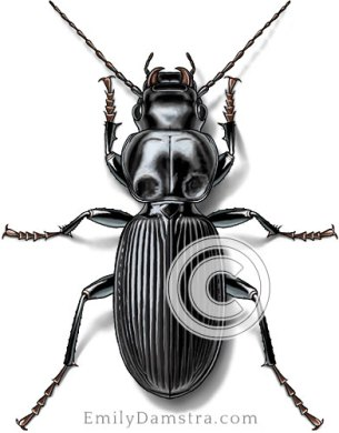 Common black ground beetle – Emily S. Damstra