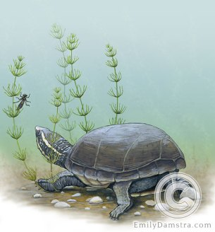 Common musk turtle Stinkpot illustration