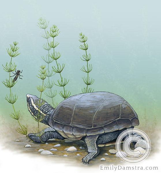 Common musk turtle Stinkpot illustration