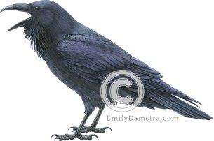 Common raven – Emily S. Damstra